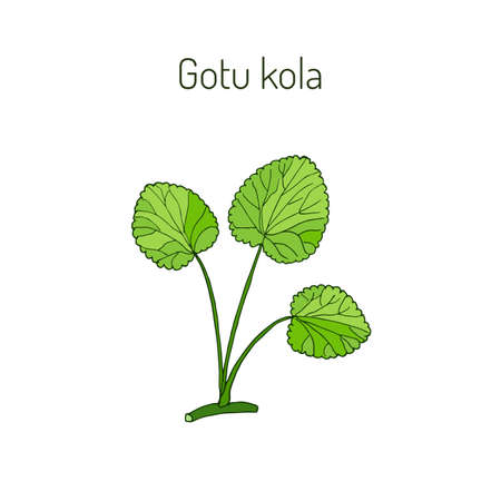 Gotu コーラ - 薬用植物。ベクトル図