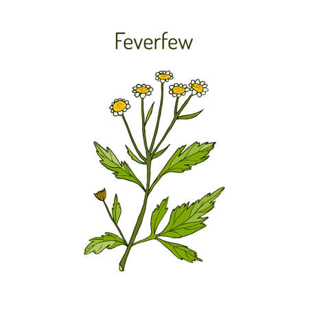 Feverfew - medicinal plant. Vector illustration