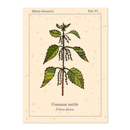 nettle: Medicinal herb common nettle, old book page. Vector illustration Illustration