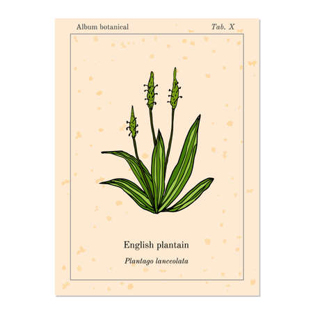 plantain herb: Medicinal herb plantain, old book page. Vector illustration