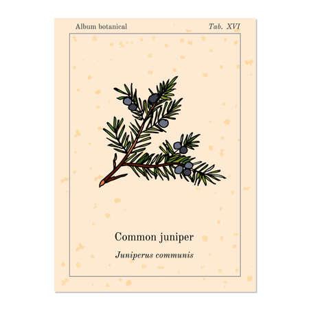 enebro: Common juniper, old book page. Vector illustration