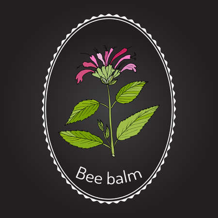 Wild bergamot or bee balm, aromatic and medicinal plant. Vector illustration