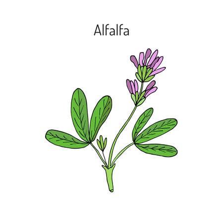 alfalfa: Alfalfa (Medicago sativa). Vector illustration
