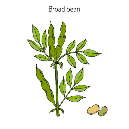 Broad beans or fava beans hand drawn. Vector illustration