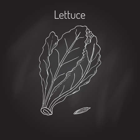 Salad Lettuce. Hand drawn vegetable. Vector illustration Illustration