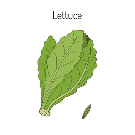 Salad Lettuce. Hand drawn vegetable. Vector illustration Vetores