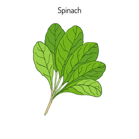 Hand drawn Spinach leaves. Green healthy vegetarian food.  Vector illustration