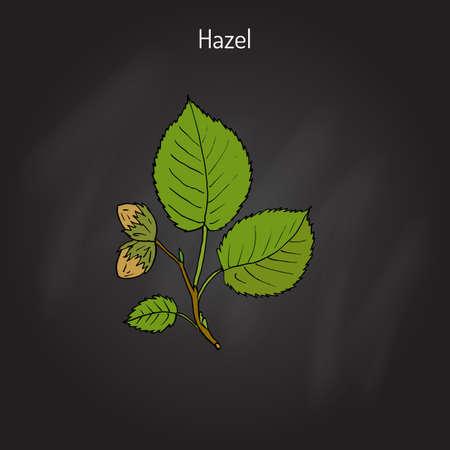 Hand drawn hazelnut branch. Botanical vector illustration