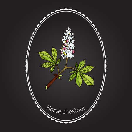 Horse chestnut or Conker tree (Aesculus Hippocastanum). Vector illustration