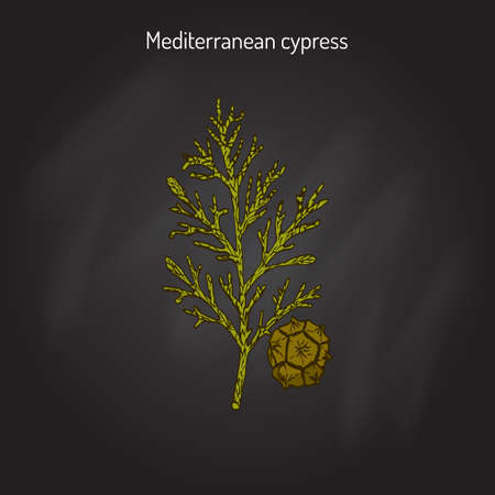 cypress: Mediterranean Cypress branch (Cupressus sempervirens). Vector illustration Illustration