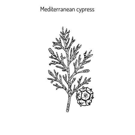 Mediterranean Cypress branch (Cupressus sempervirens). Vector illustration Illustration