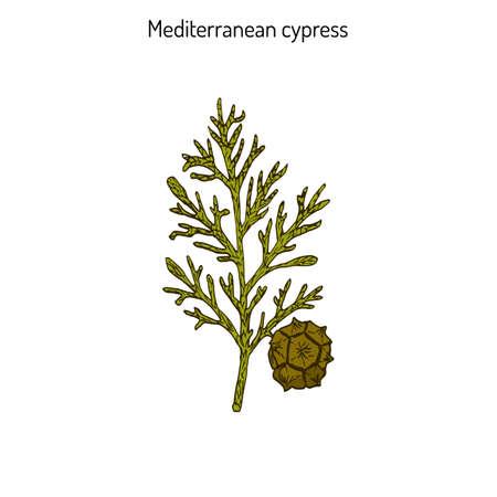 leaf illustration: Mediterranean Cypress branch (Cupressus sempervirens). Vector illustration Illustration