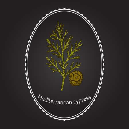 cypress tree: Mediterranean Cypress branch (Cupressus sempervirens). Vector illustration Illustration