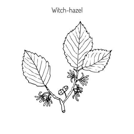 Tak van een heksenhasel, medicinale plant Hamamelis. Vector illustratie