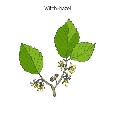 Branch of a witch hazel, medicinal plant Hamamelis. Vector illustration