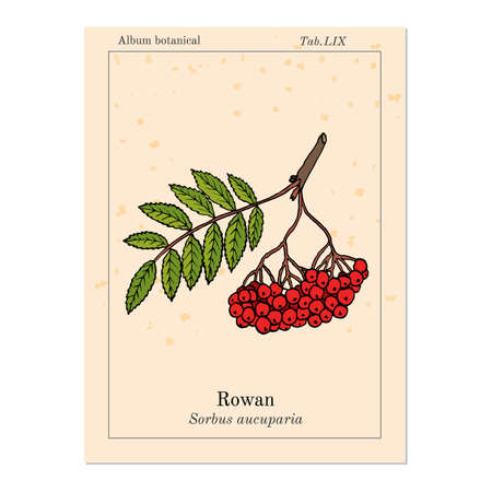 Rowan or mountain-ash tree branch with berries. Vector illustration Illustration