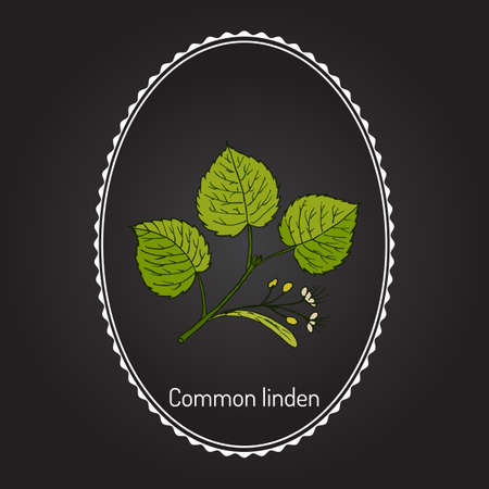 Linden branch with leaves and flowers. Hand drawn botanical vector illustration Illustration