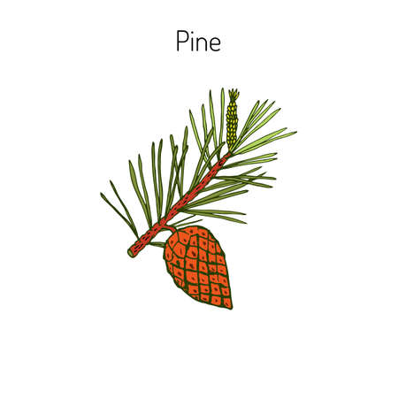 Pine branch with pine cone. Hand drawn botanical vector illustration