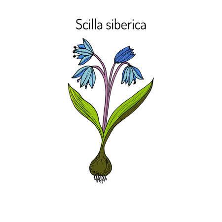 Squill (scylla) - spring flower. Botanical handdrawn vector illustration