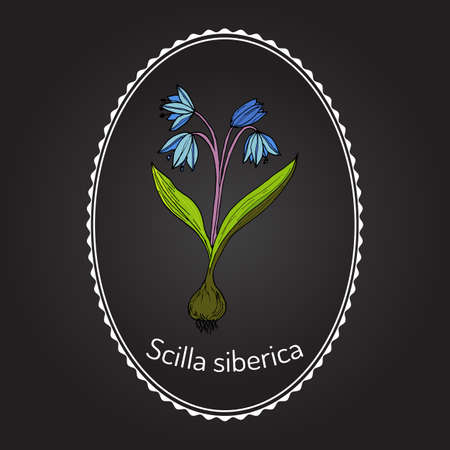 uncultivated: Squill (scylla) - spring flower. Botanical handdrawn vector illustration