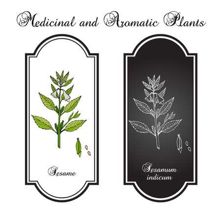 Sesame (Sesamum orientale). Botanical hand-drawn vector illustration Illustration