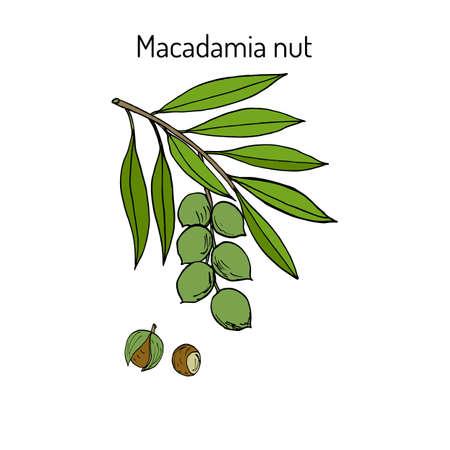 Macadamia nut branch. Hand drawn botanical vector illustration Illustration
