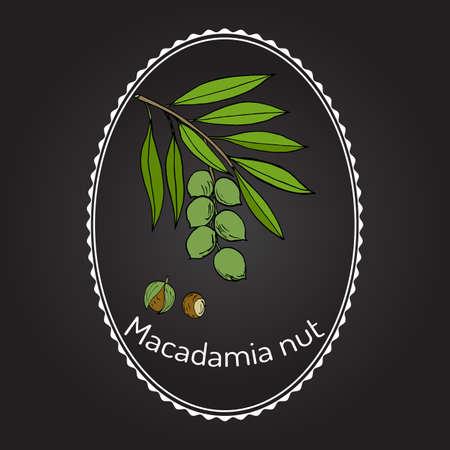 Macadamia nut branch. Hand drawn botanical vector illustration 向量圖像