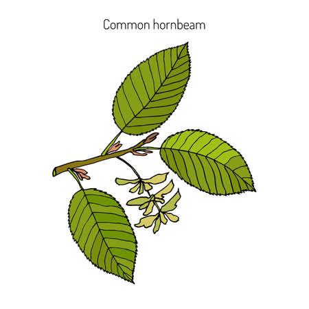 ヨーロッパや一般的なシデ (イヌシデ Betulus) の葉と果物。植物手描きベクトル図