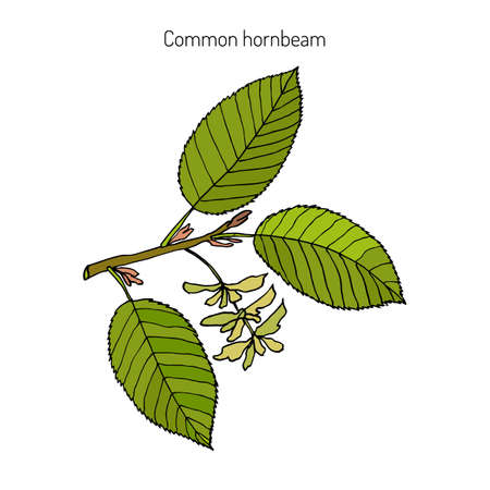 European or common hornbeam (Carpinus Betulus) with leaves and fruits. Botanical hand drawn vector illustration Ilustracja