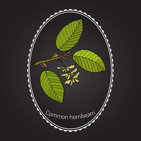 European or common hornbeam (Carpinus Betulus) with leaves and fruits. Botanical hand drawn vector illustration Illustration
