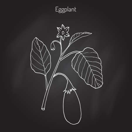 Eggplant with leaves and flower, vegetable. Hand drawn botanical vector illustration Illustration