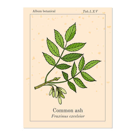Common Ash Tree Branch with  Leaves. Botanical vector illustration