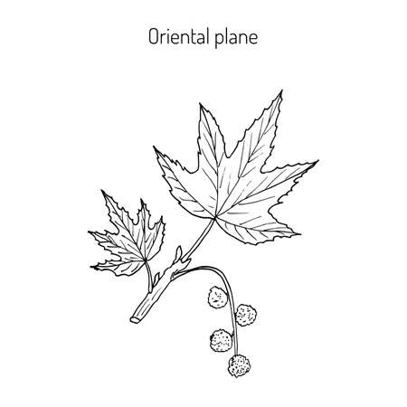 버즘 나무과 동양, 또는 동양 비행기. 손으로 그린 식물의 벡터 일러스트 레이 션 스톡 콘텐츠 - 73106209