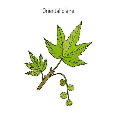 Platanus orientalis 또는 동양 비행기. 손으로 그려진 된 식물 벡터 일러스트 레이 션 스톡 콘텐츠 - 73106210