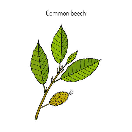 Beech branch with leaves and fruits. Hand drawn botanical vector illustration Illustration