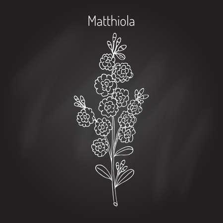 Matthiola iincana, or hoary stock.Hand drawn botanical vector illustration