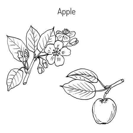 Hand drawing apple tree branch with flowers. Botanical vector illustration