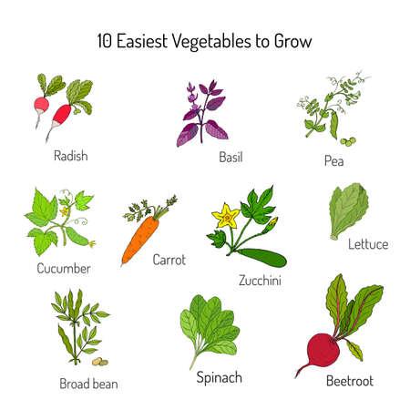 broad: Easiest vegetables to grow. Garden crops set. Vector illustration