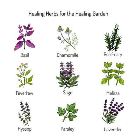 Healing herbs, healing garden. Garden crops set, vector illustration Ilustrace