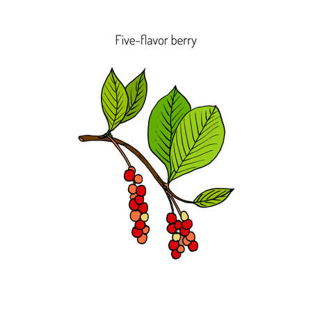 chinensis: Branch with berries of Chinese Schisandra (five flavor berry)