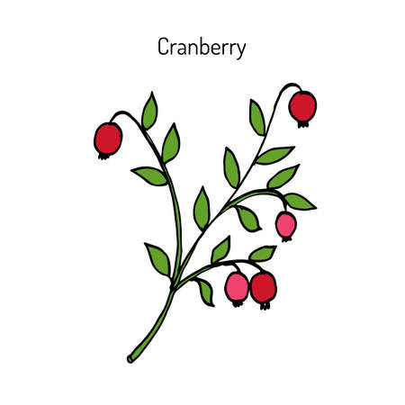 Wild forest ripe cranberries with leaves. Botanical hand drawn vector illustration