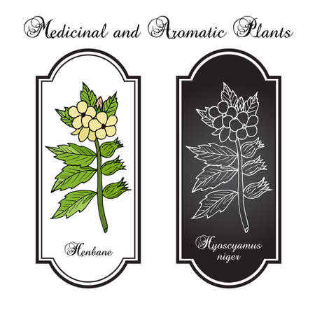 Black Henbane or Hyoscyamus niger. Poisonous plant. Hand drawn botanical vector iluustration