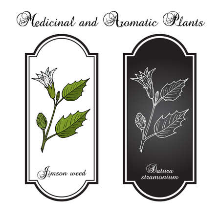 Datura stramonium, or Thorn apple, devils trumpets, moonflowers, Jimsonweed, devils weed, hells bells. Poisonous and medicinal plant. Hand drawn botanical vector illustration