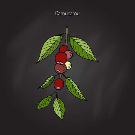 Myrciaria dubia, or camu camu, camucamu, cacari, or camocamo, medicinal plant. Handdrawn botanical vector illustration