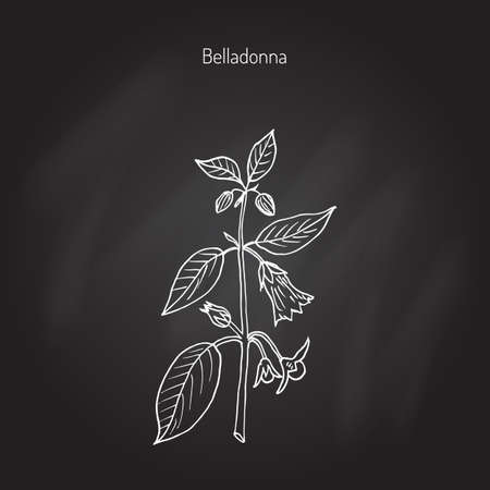 belladonna: Atropa belladonna, or deadly nightshade, medicinal plant. Hand drawn botanical vector illustration