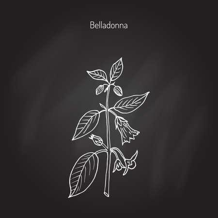 Atropa belladonna, ou morelle mortelle, plante médicinale. Illustration vectorielle botanique dessinée à la main
