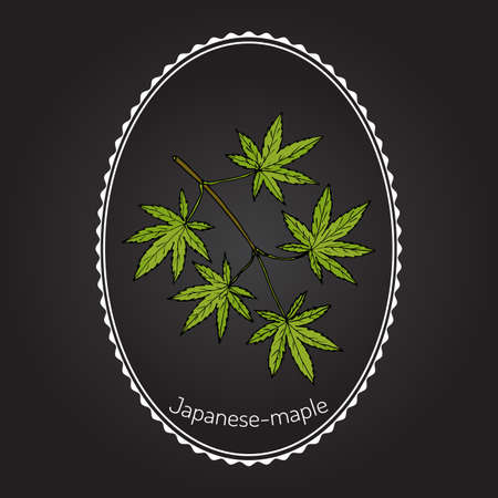 amur: Acer japonicum, Amur maple, Japanese-maple, or fullmoon maple. Hand drawn botanical vector illustration Illustration