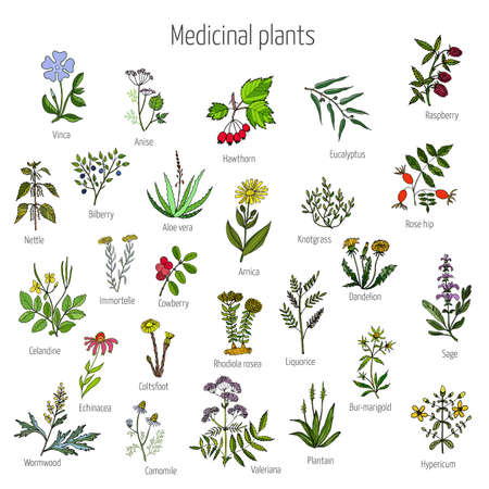 Vintage collection of hand drawn medical herbs and plants. Color version. Vector illustration