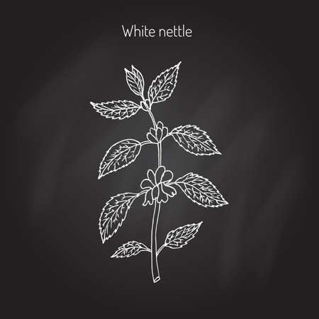nettle: White dead nettle, Lamium album, medicinal plant. Hand drawn botanical vector illustration