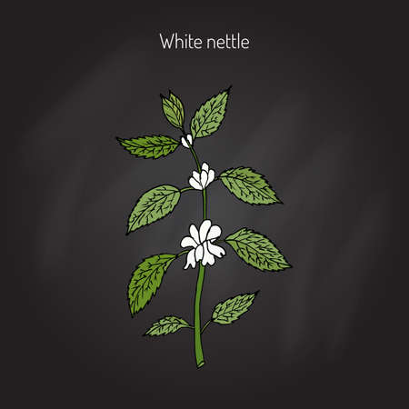 White dead nettle, Lamium album, medicinal plant. Hand drawn botanical vector illustration